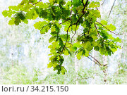 Green branch of oak tree in forest in sunny summer day with blurred background (focus of the oak twig in the foreground) Стоковое фото, фотограф Zoonar.com/Valery Voennyy / easy Fotostock / Фотобанк Лори