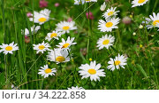 Beautiful large daisies with a white petals. Стоковое видео, видеограф Володина Ольга / Фотобанк Лори