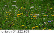 Beautiful Russian meadow with field sow thistle, daisies and clover. Стоковое видео, видеограф Володина Ольга / Фотобанк Лори
