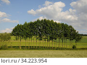 Baumreihe, Feld, Wolkenhimmel, baum, bäume, landschaft, wolke, wolken, himmel, natur, reihe, Стоковое фото, фотограф Zoonar.com/Volker Rauch / age Fotostock / Фотобанк Лори