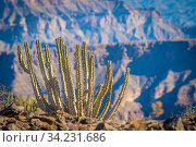 Cactus growing near the edge of the Fish River Canyon, the second largest canyon worldwide, Namibia. Стоковое фото, фотограф Edwin Remsberg / age Fotostock / Фотобанк Лори