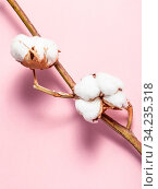 Twig of cotton plant with ripe bolls with cottonwool on pink pastel paper background. Стоковое фото, фотограф Zoonar.com/Valery Voennyy / easy Fotostock / Фотобанк Лори