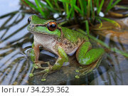 Spotted tree frog (Litoria spenceri) male, from Still Creek, north-eastern Victoria, Australia. December, Controlled conditions. Critically endangered species. Стоковое фото, фотограф Robert Valentic / Nature Picture Library / Фотобанк Лори