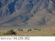Two Gemsbok (Oryx gazella), Sossusvlei region, Namib desert, Namibia, March. Стоковое фото, фотограф Ernie Janes / Nature Picture Library / Фотобанк Лори