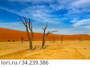 Dead Camel thorn trees (Vachellia erioloba), Sossusvlei region, Namib desert, Namibia, March. Стоковое фото, фотограф Ernie Janes / Nature Picture Library / Фотобанк Лори