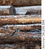 White-backed woodpecker, (Dendrocopos leucotos), male looking for food on logs, Finland, January. Стоковое фото, фотограф Jussi Murtosaari / Nature Picture Library / Фотобанк Лори