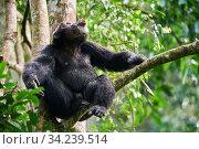Chimpanzee (Pan troglodytes schweinfurthii) male vocalising in tree, Kibale National Park, Uganda, Africa. Стоковое фото, фотограф Eric Baccega / Nature Picture Library / Фотобанк Лори
