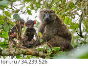 Olive baboon (Papio hamadryas anubis) mother with babies in a tree. Kibale National Park, Uganda, Africa. Стоковое фото, фотограф Eric Baccega / Nature Picture Library / Фотобанк Лори