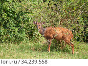 Cape bushbuck male (Tragelaphus sylvaticus). Queen Elizabeth National Park, Uganda. Стоковое фото, фотограф Eric Baccega / Nature Picture Library / Фотобанк Лори