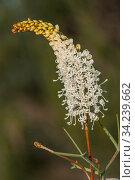Grevillea (Grevillea intricata) Murchison region, Western Australia. Western Australian endemic. Стоковое фото, фотограф Marie Lochman / Nature Picture Library / Фотобанк Лори