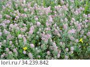 Клевер пашенный (Trifolium arvense L.). Фон из цветущих растений. Стоковое фото, фотограф Ирина Борсученко / Фотобанк Лори
