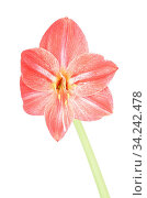 Blüte einer Amaryllis isoliert auf weiss - Blossom of Amaryllis isolated on white. Стоковое фото, фотограф Zoonar.com/lantapix / easy Fotostock / Фотобанк Лори