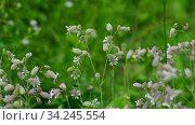 Silene vulgaris - wild flower of the carnation family. Стоковое видео, видеограф Володина Ольга / Фотобанк Лори