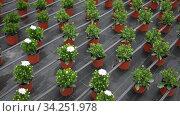 Flowers carefully growing in flowerpots in glasshouse farm. Стоковое видео, видеограф Яков Филимонов / Фотобанк Лори