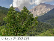 Wild mulberry (Morus) on a background of mountains. Стоковое фото, фотограф Татьяна Ляпи / Фотобанк Лори