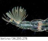 Mückenlarve im Wasser unter dem Mikroskop 50x. Стоковое фото, фотограф Zoonar.com/Dr. Norbert Lange / easy Fotostock / Фотобанк Лори