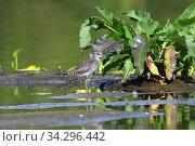 Купить «Tringa glareola. Птица фифи среди болота на севере Западной Сибири», фото № 34296442, снято 23 июля 2020 г. (c) Григорий Писоцкий / Фотобанк Лори
