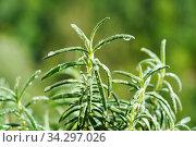 Ветки розмарина с каплями росы. Стоковое фото, фотограф Dmitry29 / Фотобанк Лори