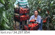 Hispanic male and female horticulturists working in greenhouse in springtime, harvesting ripe red tomatoes. Стоковое видео, видеограф Яков Филимонов / Фотобанк Лори