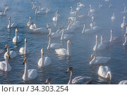 Beautiful white whooping swans swimming in the nonfreezing winter lake. The place of wintering of swans, Altay, Siberia, Russia. Стоковое фото, фотограф Zoonar.com/Ruslan Olinchuk / easy Fotostock / Фотобанк Лори
