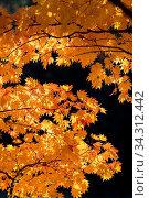 Купить «Red leave of maple tree for autumn fall background», фото № 34312442, снято 7 августа 2020 г. (c) easy Fotostock / Фотобанк Лори