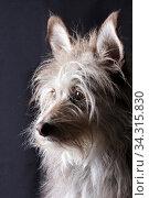 Cute funny fluffy dog portrait. Стоковое фото, фотограф Яна Королёва / Фотобанк Лори