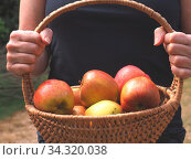 Woman holding a basket with freshly harvested organic apples, self supply concept. Стоковое фото, фотограф Zoonar.com/Andreas Berheide / easy Fotostock / Фотобанк Лори