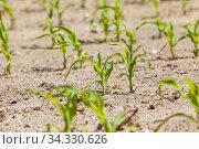 Agricultural field with a crop. Стоковое фото, фотограф Игорь Лейчонок / Фотобанк Лори