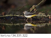 Grey wagtail (Motacilla cinerea) female at woodland pool North Norfolk, England, UK. January. Стоковое фото, фотограф David Tipling / Nature Picture Library / Фотобанк Лори