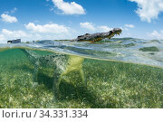 American crocodile over seagrass bed surfacing, (Crocodylus acutus), Chinchorro Banks (Biosphere Reserve), Quintana Roo, Mexico. Стоковое фото, фотограф Franco  Banfi / Nature Picture Library / Фотобанк Лори