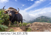 Gaur (Bos gaurus) male, valley with low cloud in background. Nilgiri Biosphere Reserve, India. Camera trap image. Редакционное фото, фотограф Yashpal Rathore / Nature Picture Library / Фотобанк Лори