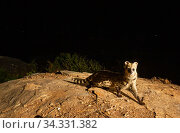 Small Indian civet (Viverricula indica) on rock. Nilgiri Biosphere Reserve, India. Camera trap image. Стоковое фото, фотограф Yashpal Rathore / Nature Picture Library / Фотобанк Лори