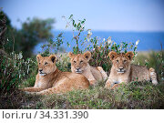 Three lion cubs (Panthera leo) lying on grass. Masai Mara National Reserve, Kenya. Стоковое фото, фотограф Eric Baccega / Nature Picture Library / Фотобанк Лори