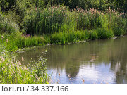 A picturesque backwater of a reservoir, the shore of a pond or lake with coastal plants with reeds, blooming fireweed and dirty muddy water in summer on a sunny warm day. Стоковое фото, фотограф Светлана Евграфова / Фотобанк Лори