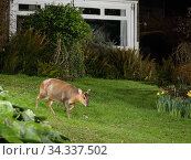 Reeve's muntjac deer / Barking deer (Muntiacus reevesi) doe crossing a garden lawn at night close to a house, Wiltshire, UK, March. Taken by a remote DSLR camera trap. Стоковое фото, фотограф Nick Upton / Nature Picture Library / Фотобанк Лори