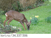Roe deer (Capreolus capreolus) buck with developing horns in velvet... Стоковое фото, фотограф Nick Upton / Nature Picture Library / Фотобанк Лори