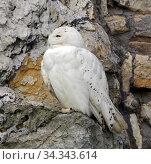 Купить «Snowy owl (Bubo scandiacus), female, on rock», фото № 34343614, снято 30 июля 2020 г. (c) Валерия Попова / Фотобанк Лори