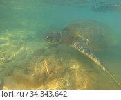 Купить «Морская оливковая черепаха (Lepidochelys оливачеа) под водой. Шри-Ланка», фото № 34343642, снято 18 февраля 2020 г. (c) Виктор Карасев / Фотобанк Лори