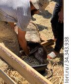 Мужчина положил барана для жертвоприношения на землю, в честь святого мусульманского праздника Курбан Байрам. Редакционное фото, фотограф Махсумов Шамиль / Фотобанк Лори
