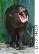 Funny Pygmy hippopotamus (Choeropsis liberiensis) showing its teeth. Female. Стоковое фото, фотограф Валерия Попова / Фотобанк Лори