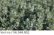 Flower sprouts fava beans growing on the plantation. Стоковое видео, видеограф Яков Филимонов / Фотобанк Лори