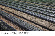 Spring onions growing in the garden. Стоковое видео, видеограф Яков Филимонов / Фотобанк Лори