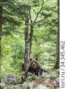 European brown bear (Ursus arctos), alpha male in Karst forest, Notranjska, Slovenia. Стоковое фото, фотограф Franco  Banfi / Nature Picture Library / Фотобанк Лори