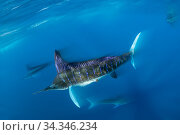 Striped marlin (Tetrapturus audax) feeding on Sardine (Sardinops sagax), blurred motion. Magdalena Bay, Baja California Sur, Mexico. Стоковое фото, фотограф Franco  Banfi / Nature Picture Library / Фотобанк Лори