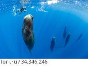 Snorkeler photographing a pod of Sleeping sperm whale (Physeter macrocephalus) Dominica, Caribbean Sea, Atlantic Ocean. Стоковое фото, фотограф Franco  Banfi / Nature Picture Library / Фотобанк Лори