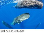 Sperm whale mother and calf, (Physeter macrocephalus) Dominica, Caribbean Sea, Atlantic Ocean. Стоковое фото, фотограф Franco  Banfi / Nature Picture Library / Фотобанк Лори