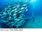 Scuba diver on the sandy bottom surrounded by shoal of Big-eye jacks (Caranx sexfasciatus), Cabo Pulmo Marine National Park, Baja California Sur, Mexico. Стоковое фото, фотограф Franco  Banfi / Nature Picture Library / Фотобанк Лори