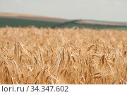 Пшеничное поле. Стоковое фото, фотограф Татьяна Шикова / Фотобанк Лори