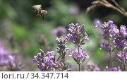 Купить «Flying bee above blooming twigs of beautiful lavender flowers.», видеоролик № 34347714, снято 2 августа 2020 г. (c) Ярослав Данильченко / Фотобанк Лори
