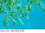 Nature, plants and botanical concept - Olive tree leaves and blue... Стоковое фото, фотограф Zoonar.com/Anneleven.com / easy Fotostock / Фотобанк Лори